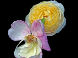 Elisabeth Rass, COHABITANT, Series WALTZ OF ROSES, digital photography