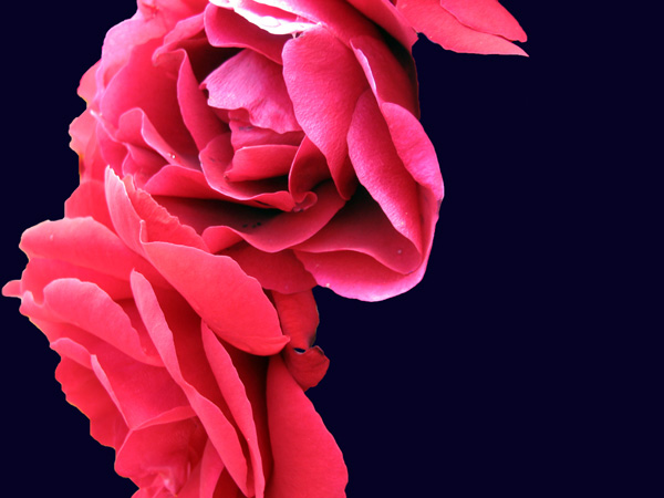 Elisabeth Rass, FLAMENCO 2, Series WALTZ OF ROSES, digital photography
