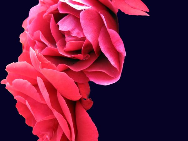 Elisabeth Rass, FLAMENCO 2, Series WALTZ OF ROSES, digital photography
