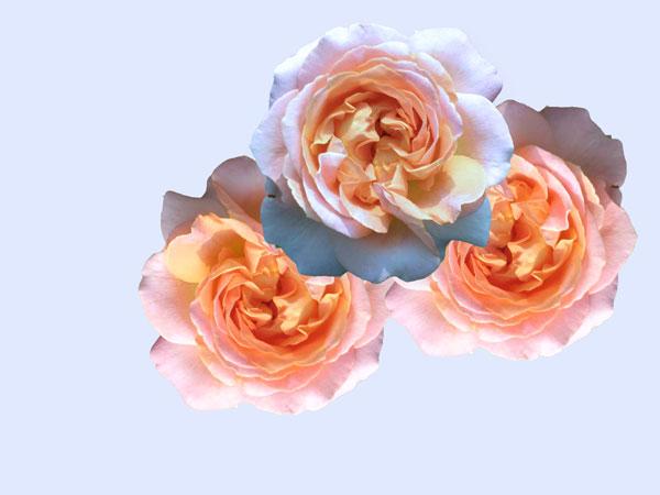 Elisabeth Rass, MENAGE PARADISO, Series WALTZ OF ROSES, digital photography