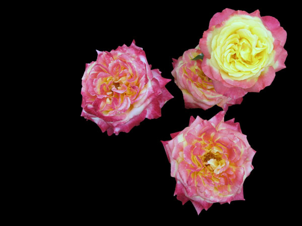 Elisabeth Rass,ROCKET TAKEOFF, Series WALTZ OF ROSES, digital photography