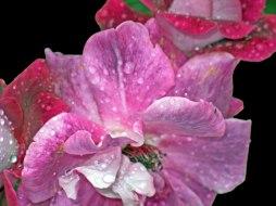 Elisabeth Rass, VIOLET DREAMS, Series WALTZ OF ROSES, digital photography