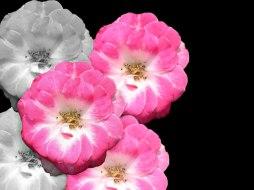 Elisabeth Rass, WHIRLIGIG, Series WALTZ OF ROSES, digital photography