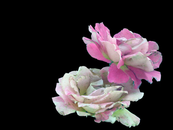 Elisabeth Rass, CLAM, Series WALTZ OF ROSES, digital photography