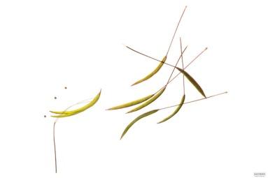 Mischa Erben,CLEOME (Spinnenblume), Projekt SAMENBANK, Archiv No 325/59, 60 x 90 cm, Chromalux Print