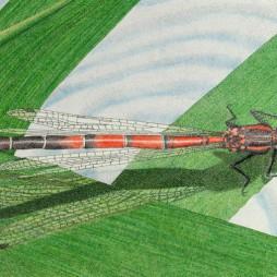 Werner Otto Egelhofer, [0077] Sympetrum vulgatum, 2017, Darstellung: B 410 x H 258 mm auf ARCHES Aquarellpapier grain satiné 300 g, B 510 x H 360 mm, Pointillismus mit Tusche und Farbstift